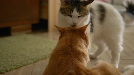hloupý : Funny domestic cats play with each other, bite for paws