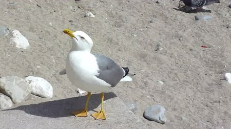 perguntando : Grey and white big seagull standing on a stone on the beach and asking for food Stock Footage