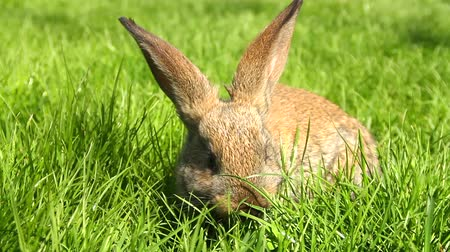 polního : Cute Easter Bunny Rabbit Eating Grass HD