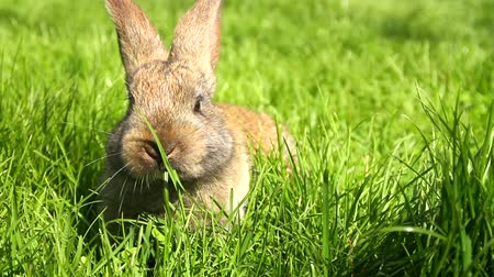 coelho : Cute Easter Bunny Rabbit Eating Grass HD