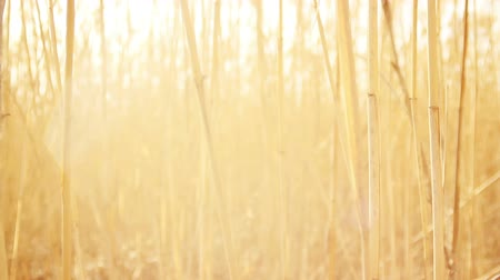 natura : Dry Cane Waves from Wind with Lens Flare Background HD