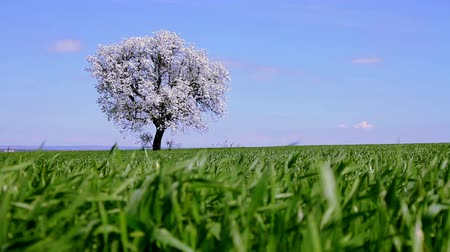 osamělost : Lonely Spring Tree on Green Grass Field - HD Background