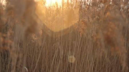 kamış : Dry Cane Waves from Wind with Lens Flare Background HD Crane Shot Stok Video