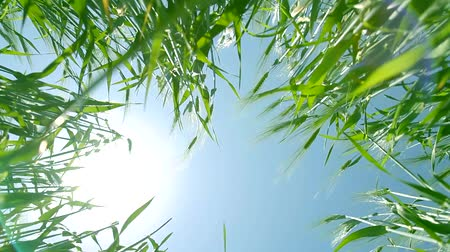 nasiona : Green Summer Wheat Seen from Ground with Sun and Lens Flare Background HD