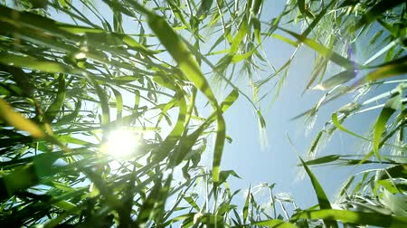 alkol : Green Summer Wheat Seen from Ground with Sun and Lens Flare Color Background HD Stok Video