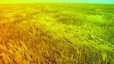 nasiona : Ripe Wheat Field Waved by Autumn Wind Summer Nature Background HD