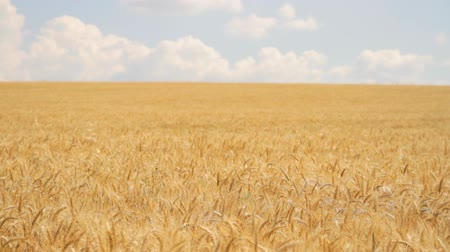natura : Summer Nature Wheat Field Golden Grain Organic Bread Food Concept Background HD