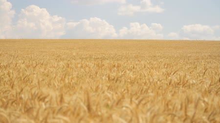 on nature : Field Ripe Wheat Wind Waves Crane Shot HD Stock Footage