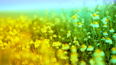 százszorszép : Herbs and Chamomile Waved by Ocean Wind Yellow Blue Nature Background HD