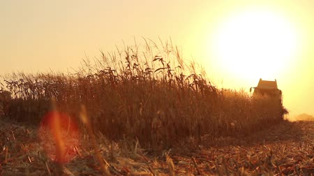 pszenica : Harvesting Corn Harvester Machine Field Sunset HD