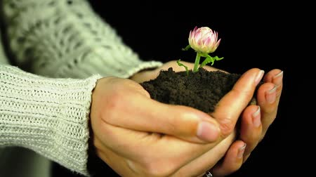 sustain : Plant Flower in Hands Soil Black Isolated Background Stock Footage