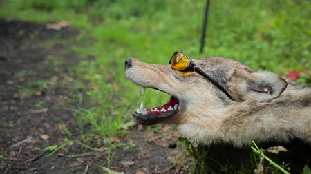 wolf dog : a stuffed wolf in sunglasses.