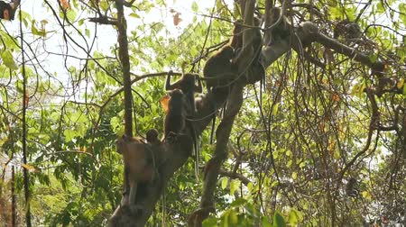 barbary : many monkeys on the tree Stock Footage