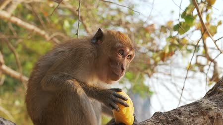 baboon : monkey eating fruit on a tree