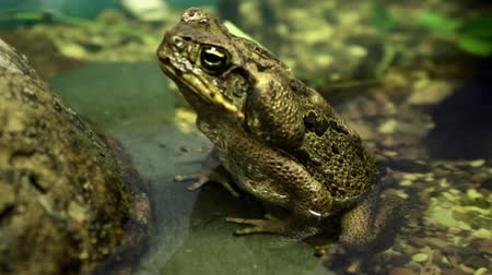 anura : Big toad sitting in a pond