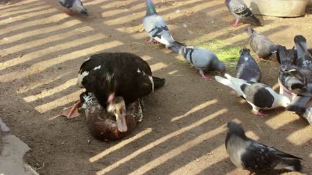 tweak : Muscovy duck tramples on the domestic duck