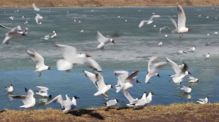 Gulls of the spring by the pond near a city