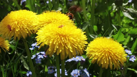 One bee attacks another bee that collects nectar on a yellow dandelion