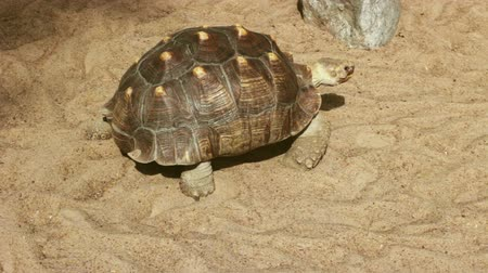 A large turtle walking on the sand