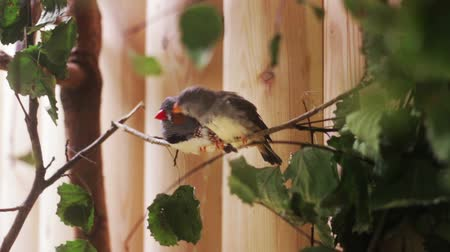 The couple of the small birds Zebra Finch. One bird pecking at the intimate friend. Stok Video