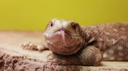 Lizard Argentine red tegu shows its tongue Stok Video