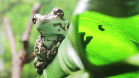 Amazon milk frog on the green leaf of the tropical plant