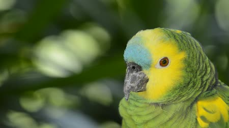 amazonka : Parrot close up.