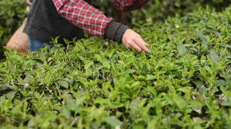 urlop : People pick tea leaves in the farm