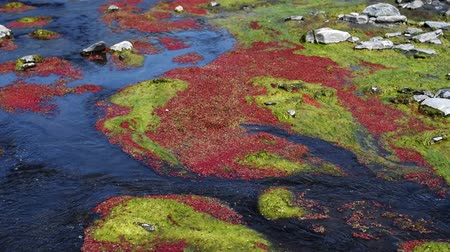 mossy : colorful red azolla floating of the river at winter at Wujie , Nantou, Taiwan