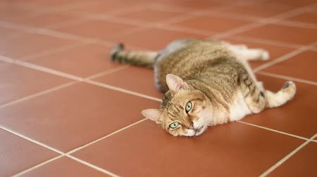 tabby fat cat lying on the ground at home