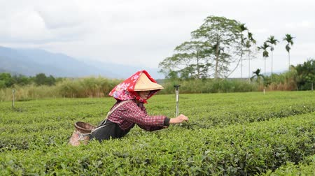 People pick tea leaves in the farm