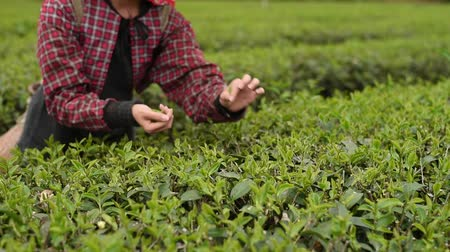 оставлять : People pick tea leaves in the farm