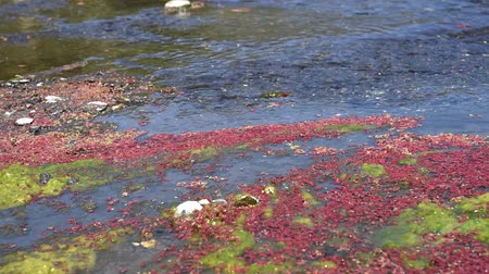 colorful red azolla floating of the river at winter at Wujie , Nantou, Taiwan