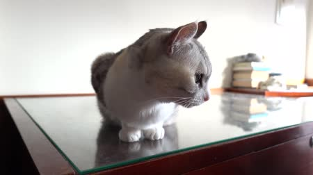 cat, cute, home, sit, wait, indoor, table, desk, domestic, animal, portrait, feline, beautiful, pet, mammal, fur, adorable, fun, pretty Stok Video