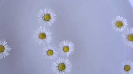 Daisy flower in water and drop falling. Slow motion