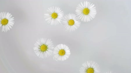 White Daisy Flowers floating in water and rotate. Natural concept video Stok Video