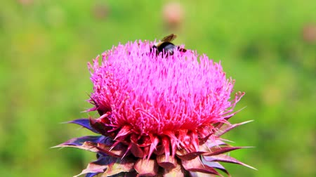 feed on : Closeup macro of bumblebee pollinating thistle flower.