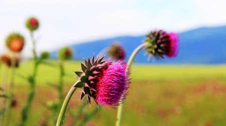 cardo : Close-up of the thistle in meadow
