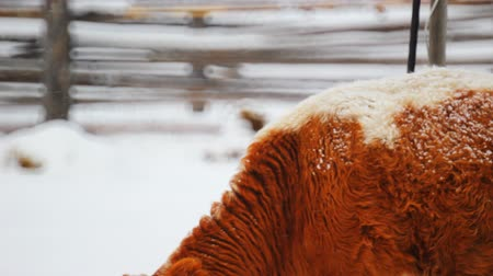 telecí maso : Cow grazing in the winter snow meadow finding dry grass