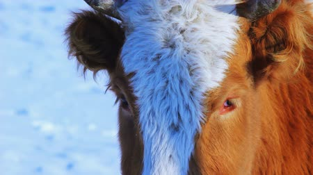 cielęcina : Cow grazing in the winter snow meadow finding dry grass and looking at camera