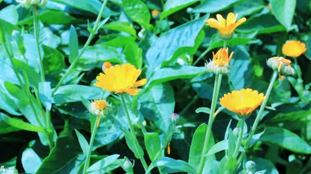 common marigold : Close-up of calendula flowers