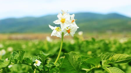 talaj : Potato flower on the field close-up
