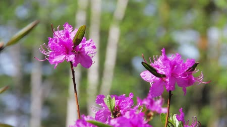 rhododendron : Daurian rhododendron, Labrador tea (Rhododendron dauricum) with vibrant flowers