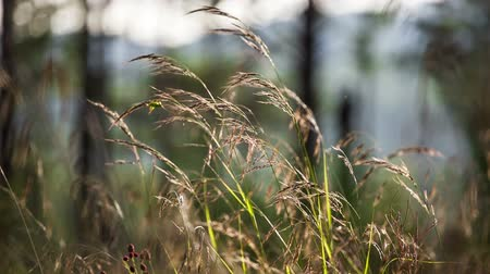 Macro of yellow grass swaying in the wind. Autumn. Shot to RAW, wide dynamic range Stok Video