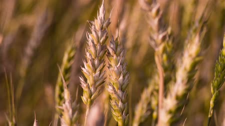 Couple of wheat spikes macro at sunset. Shot to RAW, wide dynamic range Stok Video