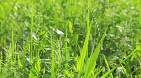 Closeup tilt shot of green vibrant grass in summer Stok Video