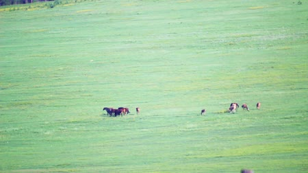 Countryside field grazing horses with heat haze, hot summer Stok Video