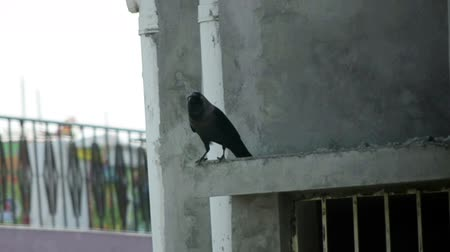 corvo : Carrion Crow On concrete Pellet