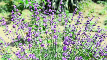 levandule : Lavender flower swaying in the wind