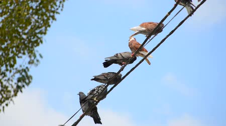 kable : Birds on a wire. Close view Wideo